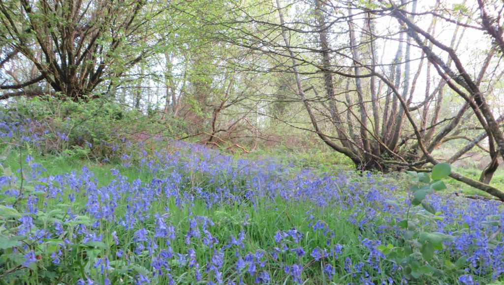 Bluebells in coppiced woodland